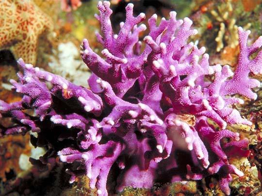 кораллы Korally_rif_kartinki_foto_20