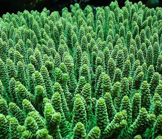 кораллы Korally_rif_kartinki_foto_25