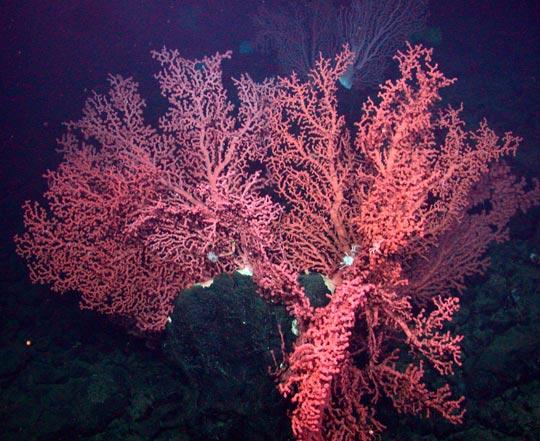 кораллы Korally_rif_kartinki_foto_29