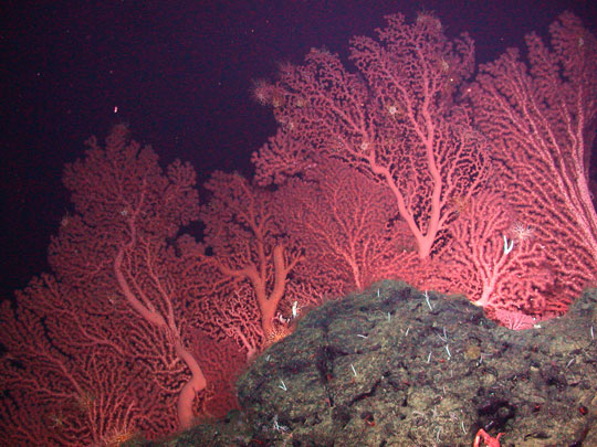 кораллы Korally_rif_kartinki_foto_34