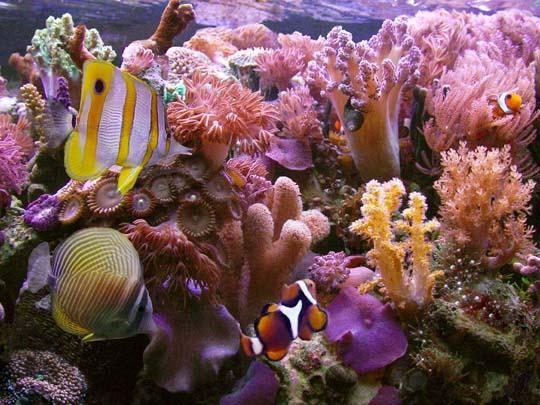 кораллы Korally_rif_kartinki_foto_38