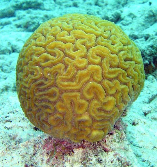 кораллы Korally_rif_kartinki_foto_39