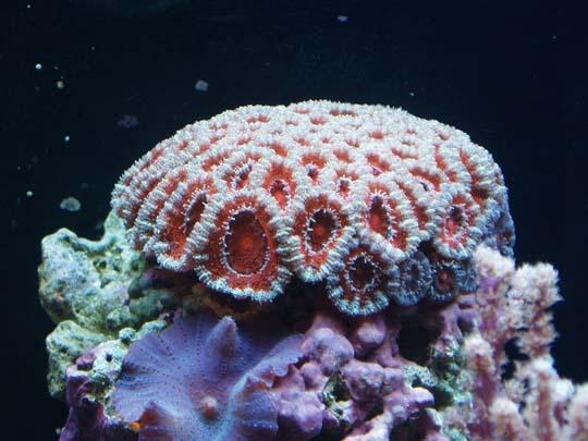 кораллы Korally_rif_kartinki_foto_41