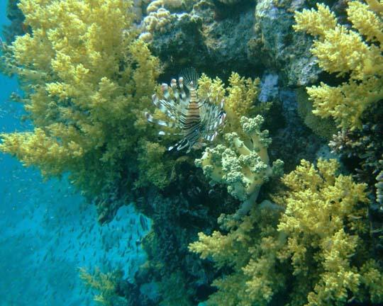 кораллы Korally_rif_kartinki_foto_44