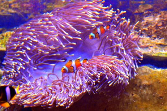 кораллы Korally_rif_kartinki_foto_48