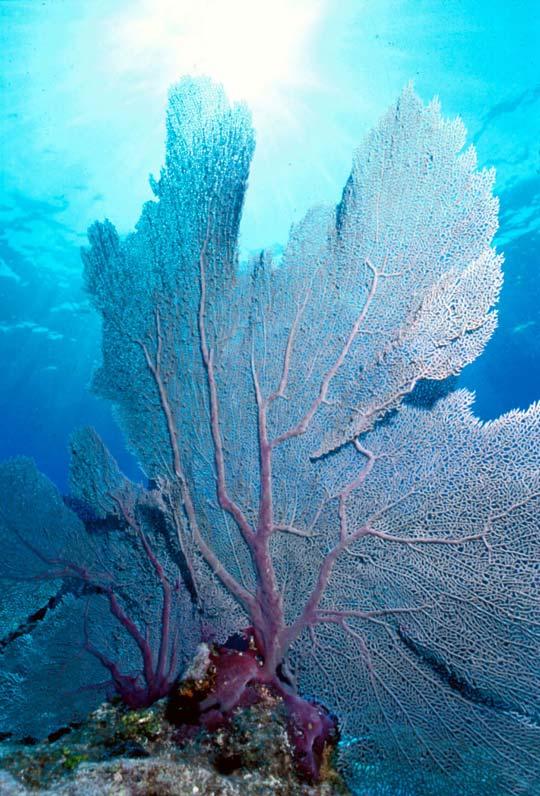 кораллы Korally_rif_kartinki_foto_50