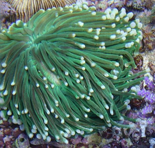 кораллы Korally_rif_kartinki_foto_51