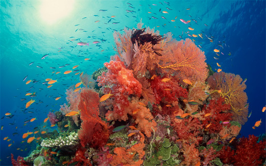 кораллы Korally_rif_kartinki_foto_53