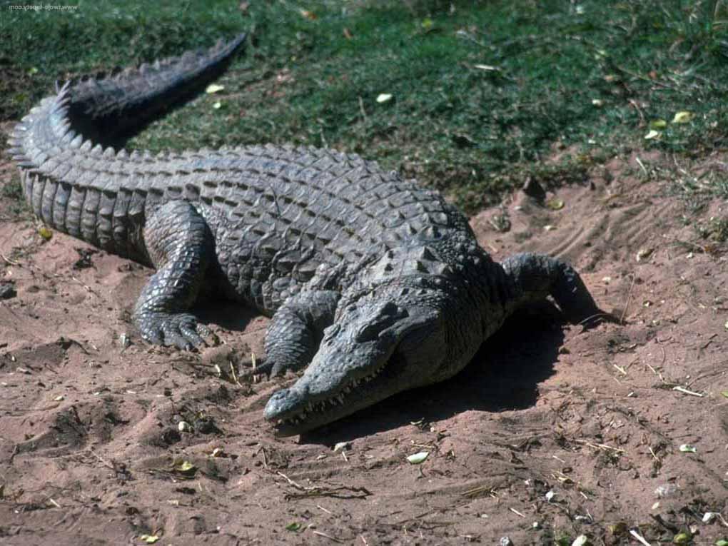 """Конкурс: """"Животные"""" (по принципу игры в Города)  Crocodile_alligator_foto_01-3"""