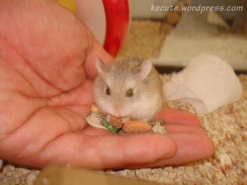 Hrčci - hrčak Lala-hamster-hand