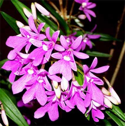 HOA GIEO TỨ TUYỆT 2 - Page 2 Epidendrum-centradenia-1