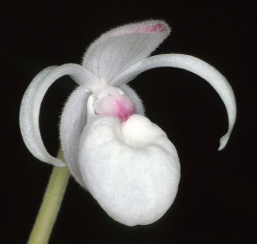 Hoa gieo tứ tuyệt 3 - Page 16 Mexipedium-xerophyticum-e1458015100556