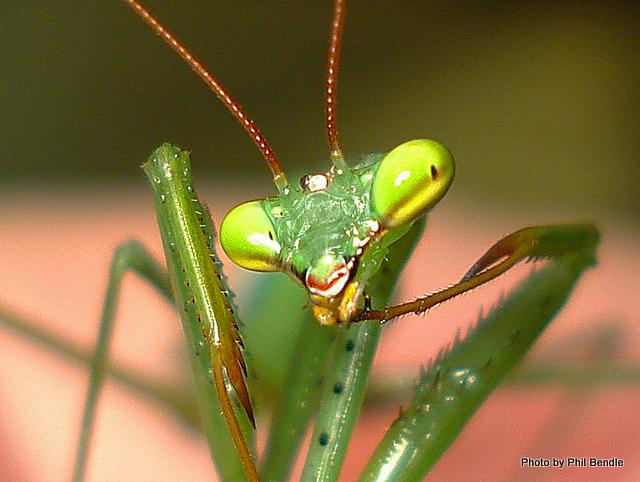 Brani: Slaikka mb - Sivu 2 Miomantis_caffra.African_Praying_mantis-8