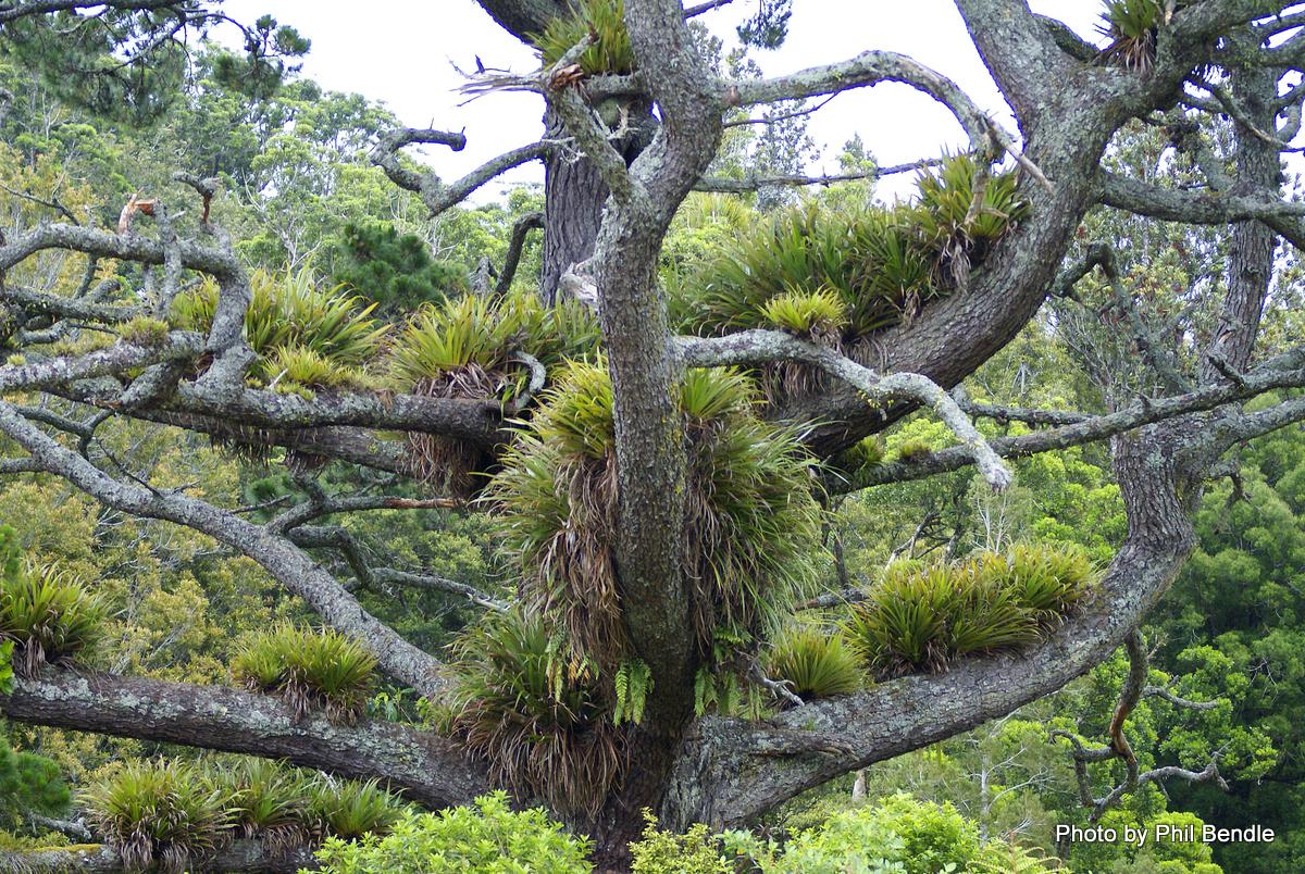 Plantes de fous ! forêts tempérées exotiques Collospermum_hastatum___Perching_lily