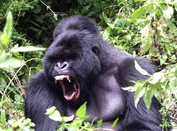 موسوعة شاملة و كبرى عن الغــوريــلا Gorille-1