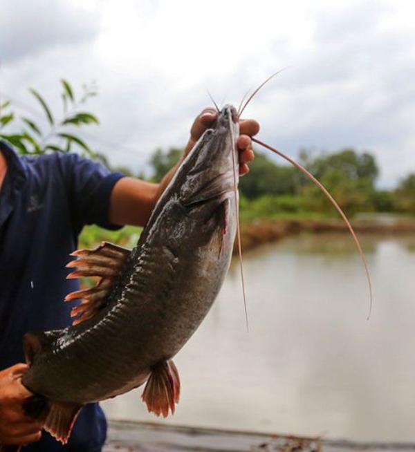 Đi tìm địa chỉ cung cấp cá lăng giống uy tín, chất lượng tại miền Bắc Dia-chi-mua-giong-ca-lang-uy-tin-chat-luong-tai-mien-bac8