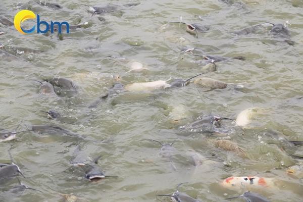 Đi tìm địa chỉ cung cấp cá lăng giống uy tín, chất lượng tại miền Bắc Dia-ch%E1%BB%89-mua-giong-ca-lang-mien-bac18