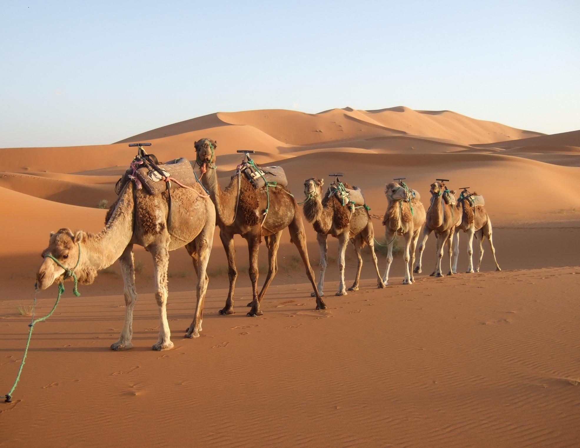 Maroko - Page 2 Morocco-desert-camel
