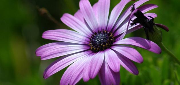 تعرف على زهرة البنفسج Hawanat-o-nabatat-526-1465098781