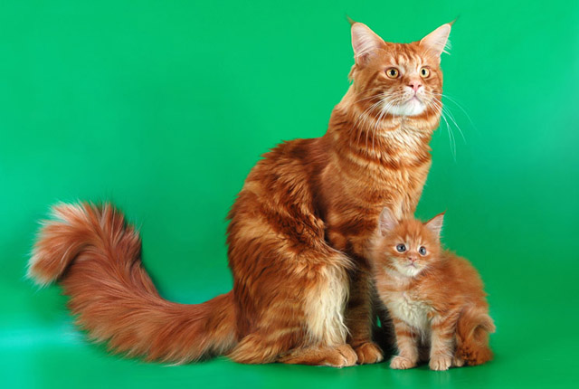 Все самые красивые кошки Мира 1268321060_79521