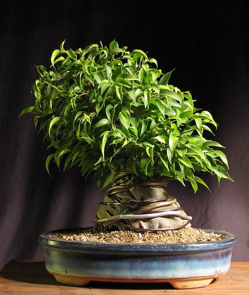 31 year old Ficus burkei progression. 20120803123304-eee513ed-me