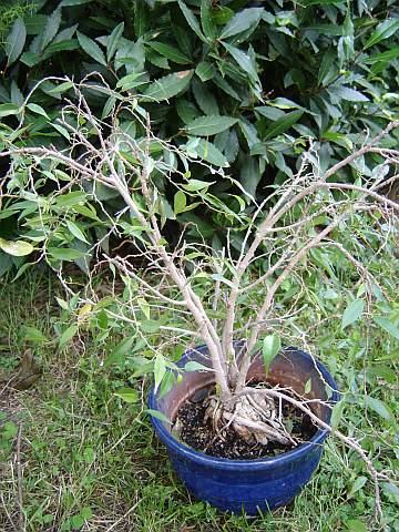 31 year old Ficus burkei progression. 20120803123249-3522ee1d
