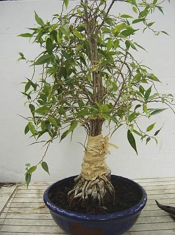 31 year old Ficus burkei progression. 20120803123251-beddd19a