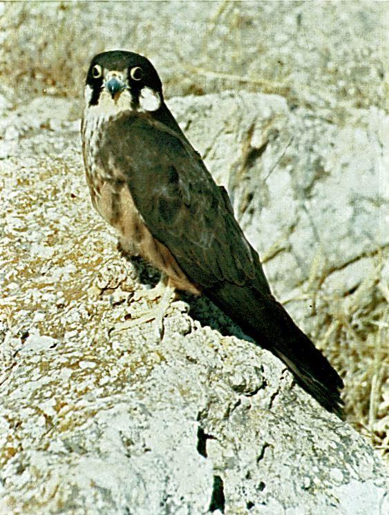 Falconiformes. sub Falconidae - sub fam Falconinae - gênero Falco Eleonora