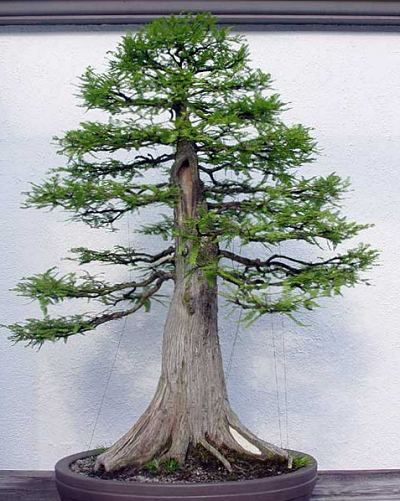 Plantón de Taxodium. Primeros pasitos... Bald-cypress-from-guy-guidry-in-training-since-1987