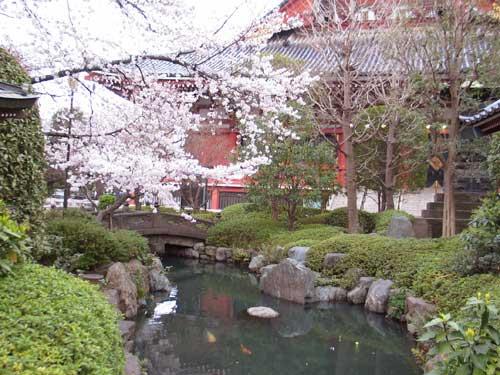 أشجار الساكورا  Asakusa6