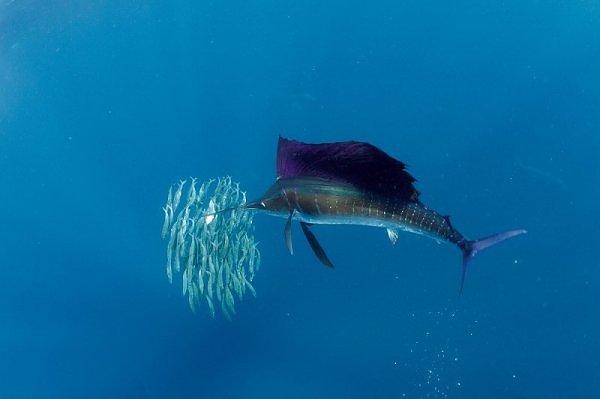 La Pesca del Pez Vela por José Manuel López Pinto / Actualizado al 9 de Febrero del 2012 2549315890103830173S600x600Q85