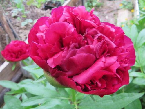Nos amies les fleurs (Symbolisme) Pivoines