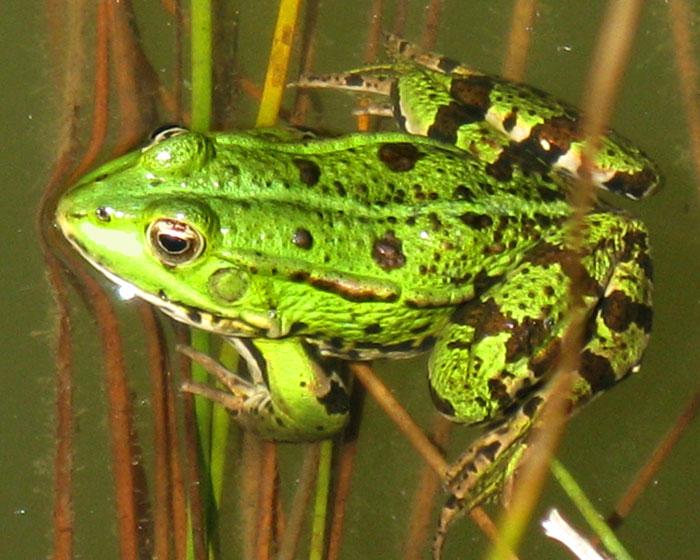 une grenouille verte? IMG_0093