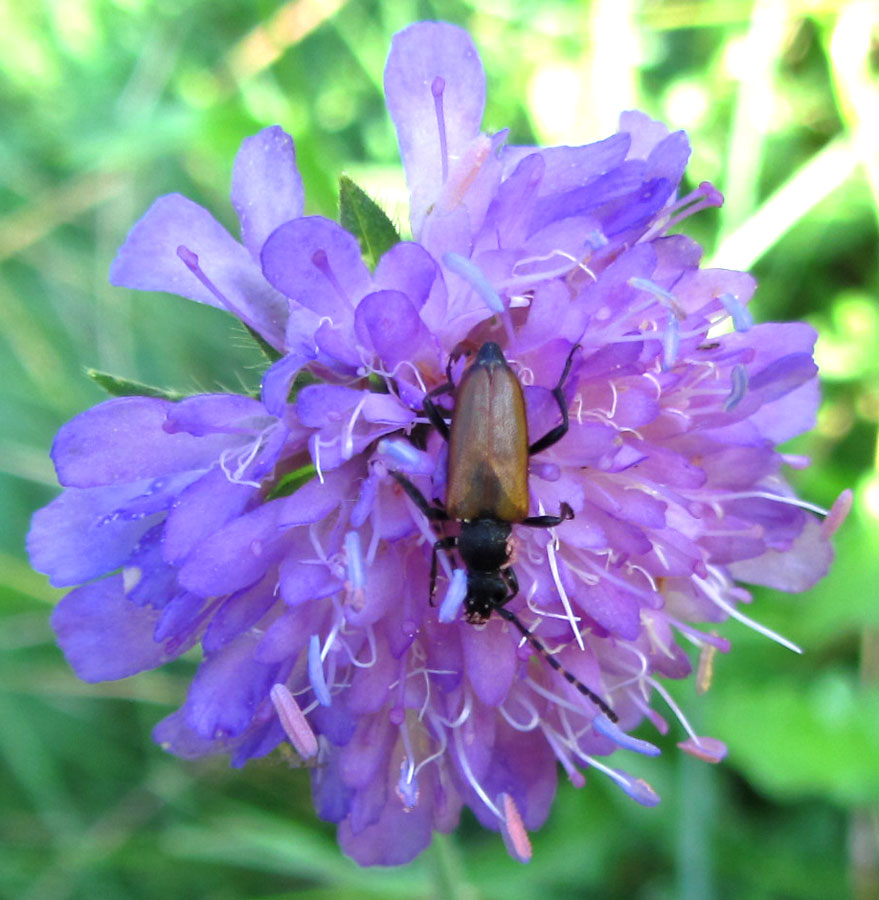 Cerambycidae de Haute-Loire IMG_0372bugbrown