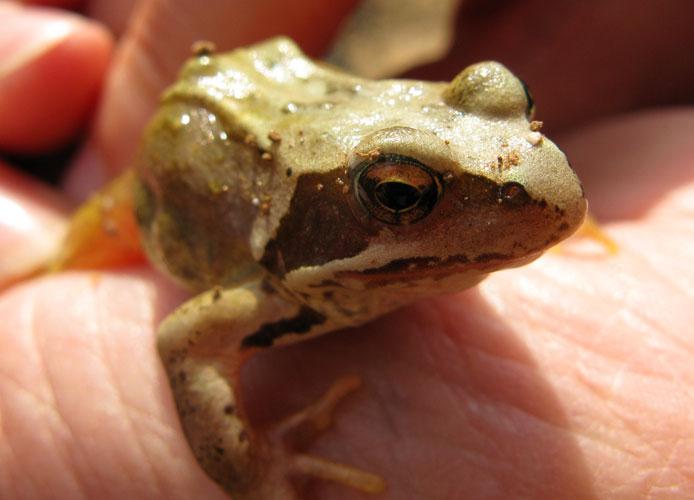 Petite grenouille à identifier... IMG_0754