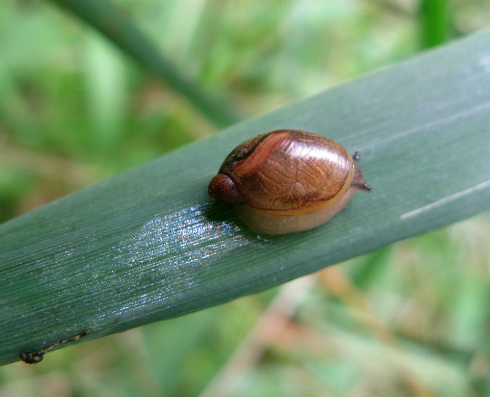 Petit escargot de Haute Loire IMG_1163snail
