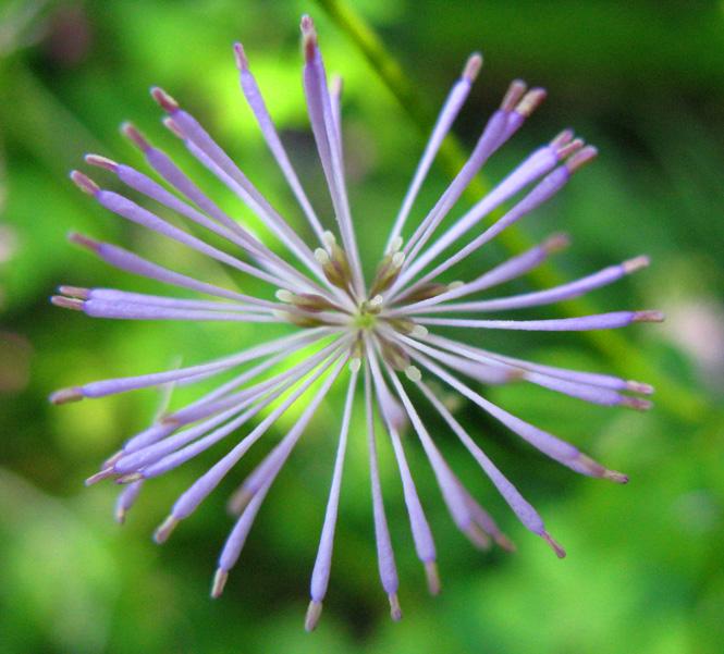 Fleur à identifier IMG_0440