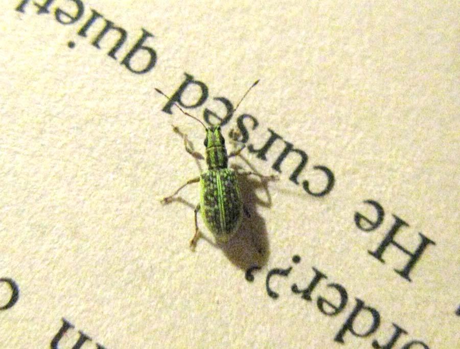 Petite bébète verte ? [Charançon, Curculionidae ] Bookbug7