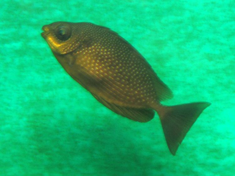 Poisson moucheté : [Siganus canaliculatus ou javus] ? Fish_5585