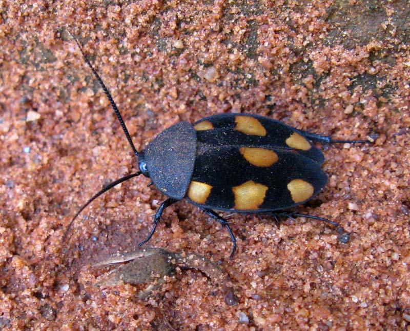 Blattodea d'Inde du Sud [Therea sp] Yellowspot02