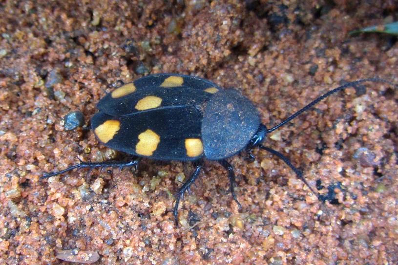 Blattodea d'Inde du Sud [Therea sp] Yellowspot_6274