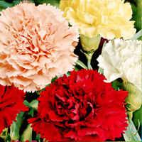 Glosario y propiedades mágicas de las plantas 20060703205806-clavel