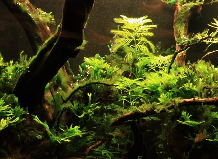 Mon 90L planté (avec RAZOR 8000K 120W!) Aquarium004