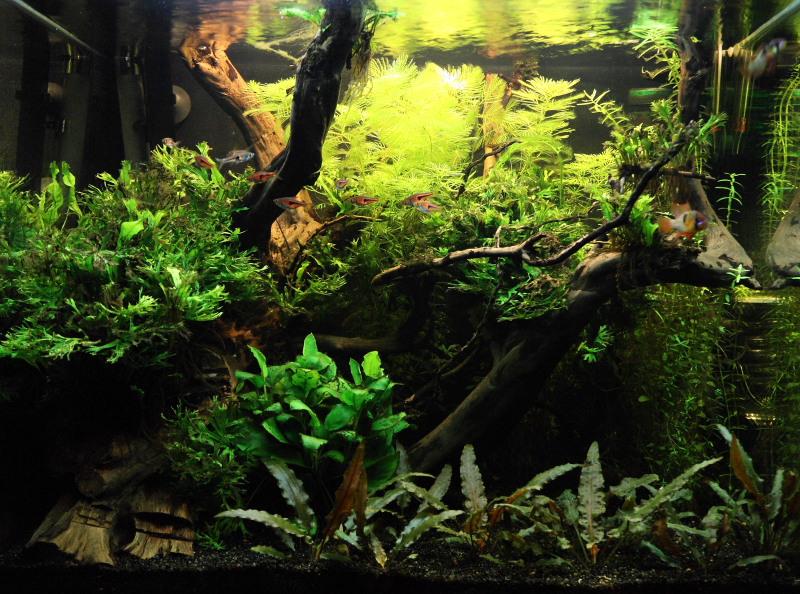 Mon 90L planté (avec RAZOR 8000K 120W!) Aquarium005