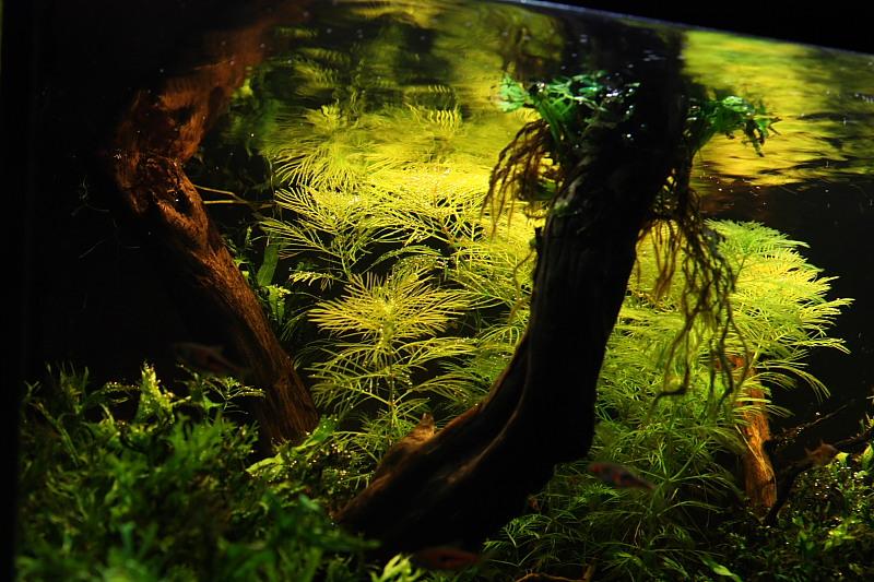 Mon 90L planté (avec RAZOR 8000K 120W!) Aquarium009