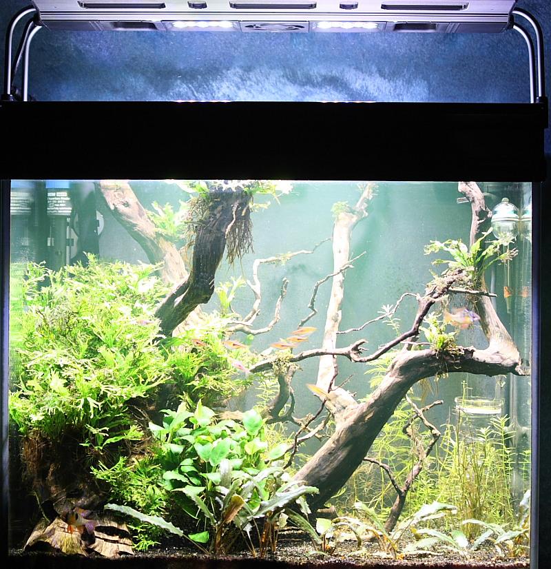 Mon 90L planté (avec RAZOR 8000K 120W!) Aquarium015_100p
