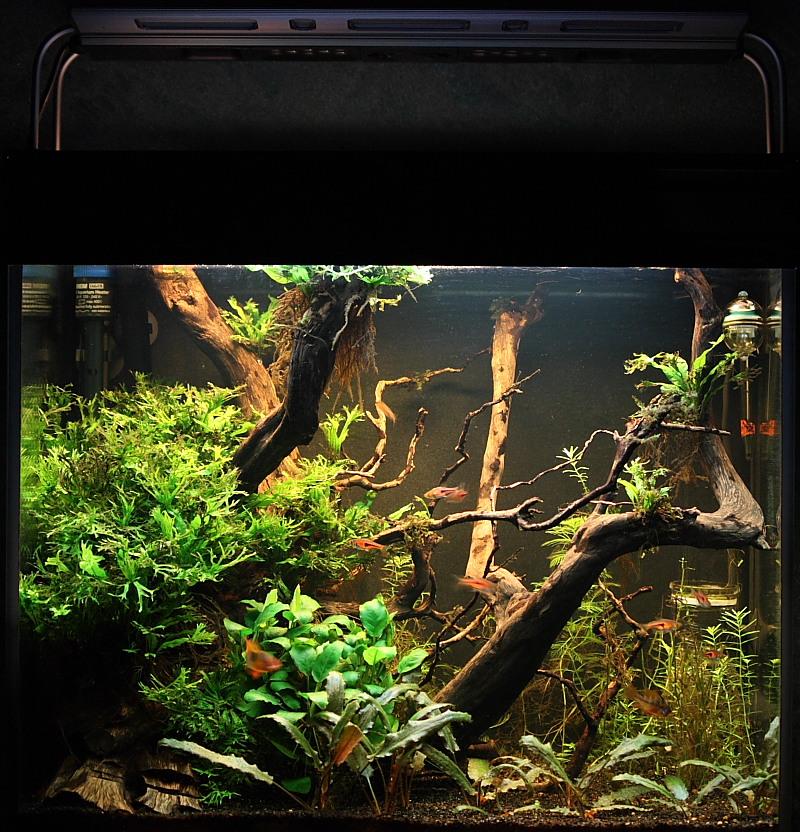 Mon 90L planté (avec RAZOR 8000K 120W!) Aquarium016