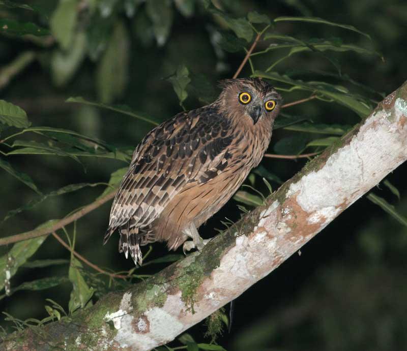 Strigformes: Famíla Strigidae- sub fam. Buteonidae. Género Ketupa (por vezes incluído em Bubo) Buffy-fish-owl-ketupa-ketupu-2-by-peter-ericsson