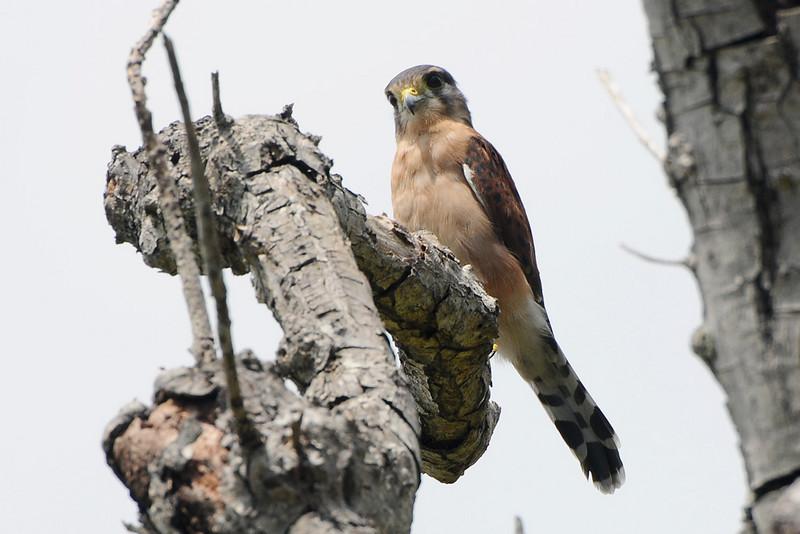Falconiformes. sub Falconidae - sub fam Falconinae - gênero Falco 38-seychelles-kestrel-falco-araeus-2-by-bob-nan