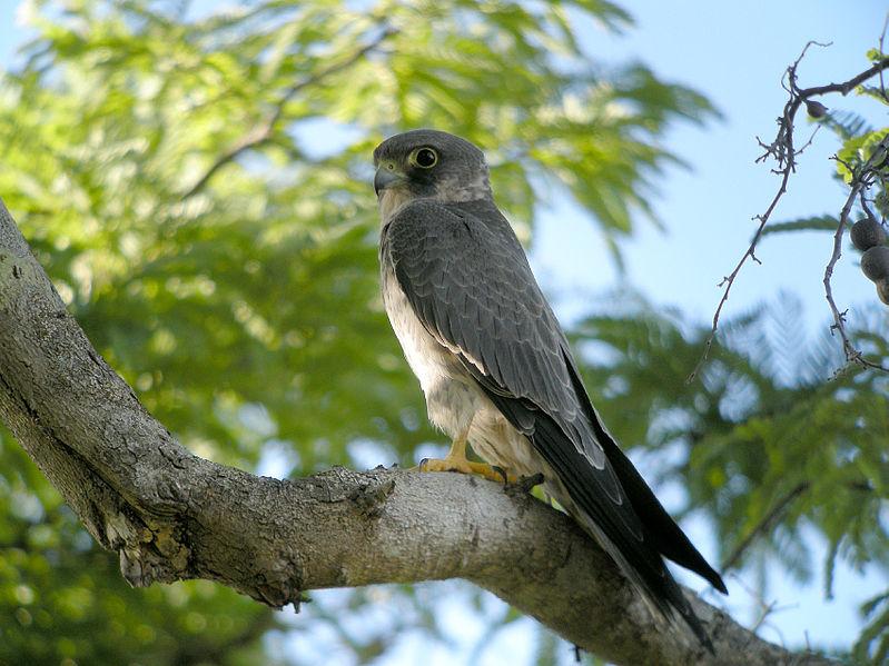 Falconiformes. sub Falconidae - sub fam Falconinae - gênero Falco 38-sooty-falcon-falco-concolor-cwikic